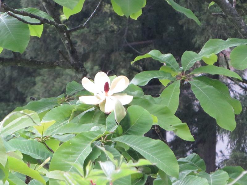 ホオノキ(花)